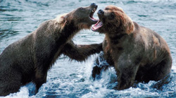 Fighting_bears