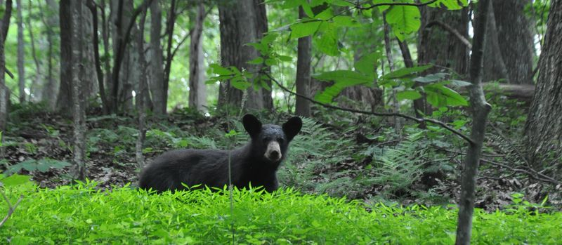 A bear in the woods #2