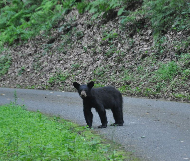 A bear on the road#1